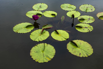Lily Pads in Pond with Flowers