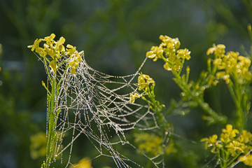 the natural background - web on yellow colors in dew