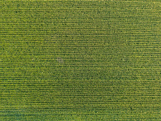 Aerial view of corn field Wall mural