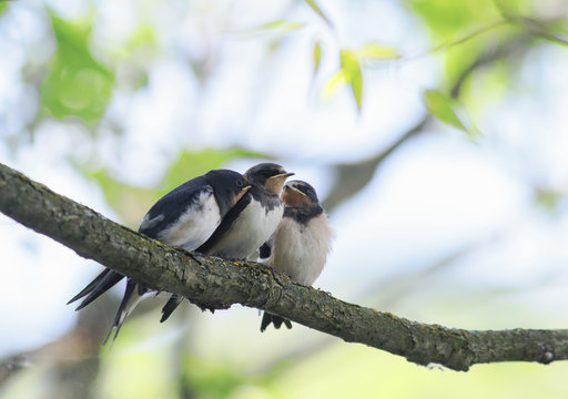 small baby swallows sitting on a branch clinging to each other waiting parents