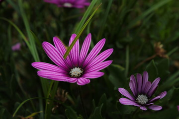 Flor lila de jardín