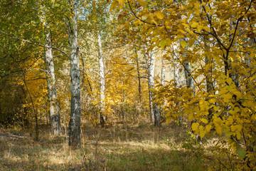 Birch grove autumn landscape