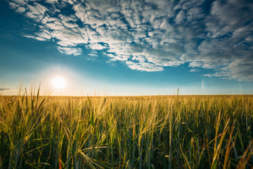 Summer Sun In Agricultural Landscape Of Young Green Wheat Field