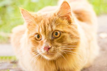 Beautiful orange red cat portrait, eyes look closeup, macro