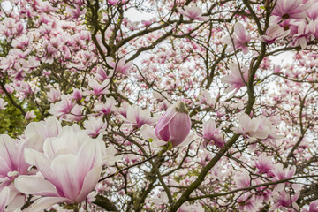 Pink or white flowers of blossoming magnolia tree (Magnolia denudata) in the springtime