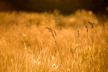 Silhouettes of dry grass on a background sunset.