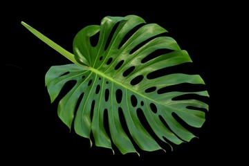Monstera large leaf, tropical climbing vine, Swiss Cheese Plant, dark green isolated on black background