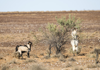 wild feral goats in outback Australia.
