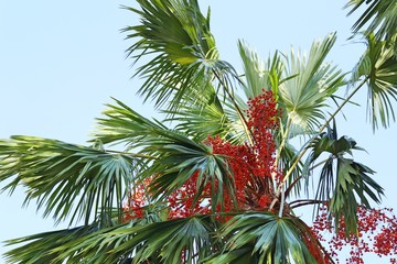 Betel palm on tree