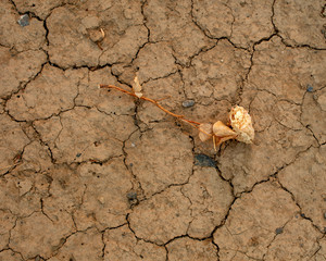 Dead rose on cracked ground