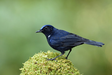 White-tailed Robin (Cinclidium leucurum) beautiful funny dark blue bird with bright head perching on mossy spot over fine green background, fascinated animal