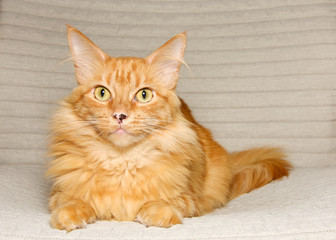 Long haired orange tabby cat laying on a textured fabric chair looking directly at viewer with wide eyes. Adorable small kitty. Copy space.