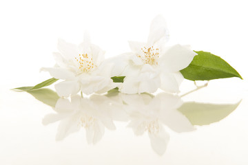 Two blooming Jasmine flowers on a white background with its reflection