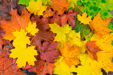 Natural background - colorful beautiful autumn maple leaves