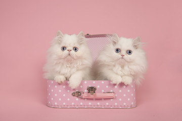 Two white persian longhair kittens with blue eyes in a pink suitcase on a pink background