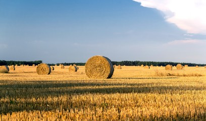 Round yellow straw bales in a cut field in summer day