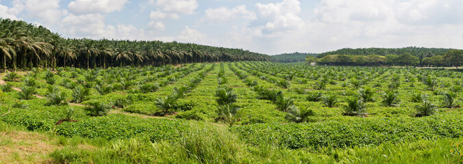 Panorama view of oil palm plantation in Malaysia