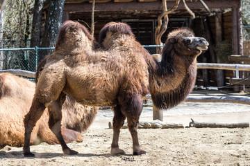 Kamel - Camelus ferus - Trampeltier