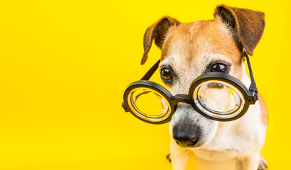 Spoed Fotobehang Hond Smart dog in glasses on yellow backgeound. Horizontal banner. Back to school theme. Funny lovely pet