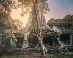 Giant tree of Ta Prohm temple in Angkor Cambodia