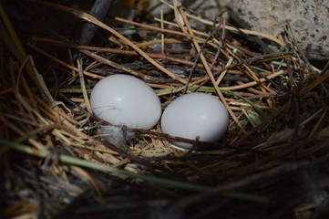 Pigeons' eggs in the nest