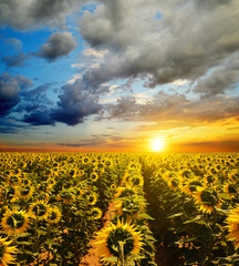 Beautiful rural landscape with sunflower field at sunset.