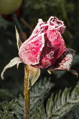 Mit Reif bedeckte  Rosenblüte auf dem Friedhof