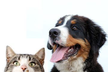 Bernese mountain dog and cat on a white background
