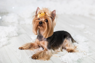 Puppy of the Yorkshire terrier in a Christmas studio