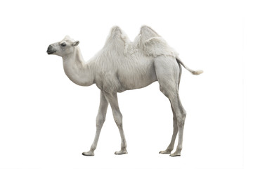 Tuinposter Kameel white camel isolated