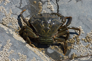 Green Shore Crab (Carcinus maenas)/European Female Green Crab carrying eggs