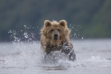 Brown bear (Ursus arctos), hunting, Kamchatka, Russia, Europe