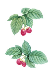 Watercolor illustration of raspberries