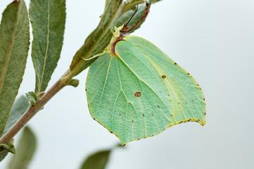 Mariposa Limonera posada en una rama. Gonepteryx rhammni.