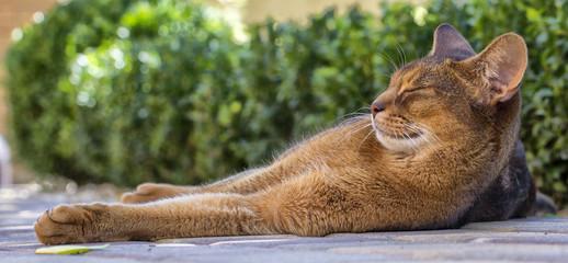 Felis catus Close-up eyes are big and beautiful