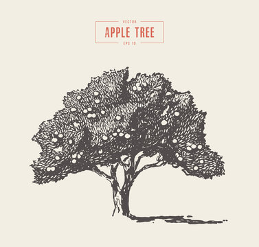High detail vintage apple tree vector drawn
