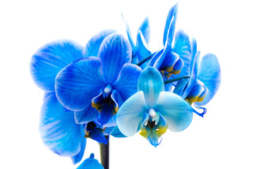 Macro shot of a blue Orchid