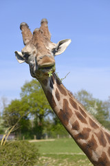 Portrait of giraffe (Giraffa camelopardalis)  eating a grass and seen from front