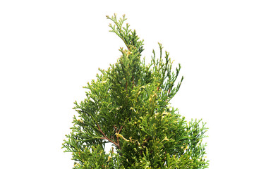 Branch thuja occidentalis variegata isolated on white background. Coniferous trees. Flat lay, top view