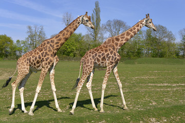Two giraffes (Giraffa camelopardalis) walking on grass in single file