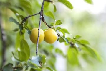 Сherry plum