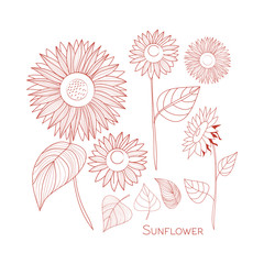 Set of sunflowers. Line drawing. Autumn. Isolated. Hand drawn vector.