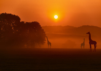 Evening African landscape with giraffes.