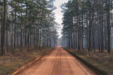 Longleaf pine forest and clay road at a southern plantation during a controlled burn