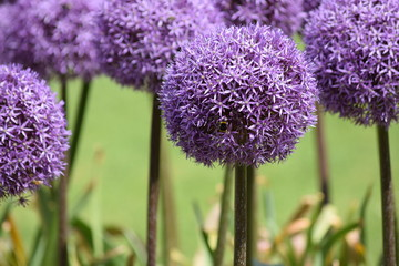 Purple round onion flower