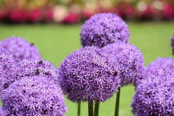 Purple round onion flower