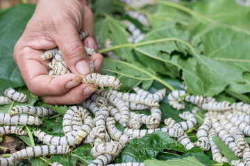 Silkworms on the Mulberry, Silkworms eating the Mulberry