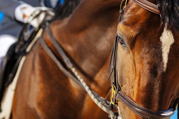 Dark-eyed racehorse. Beautiful dark-eyed racehorse looking a little bit tired and really exhausted