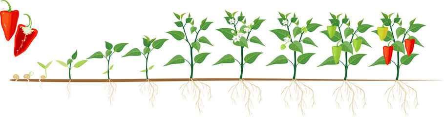 Stages of pepper growth from seed and sprout to harvest. Plants showing root system below ground level