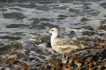 A lonely seagull on a pebbled beach